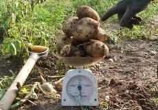 Patate con trattamento Bioagrifert