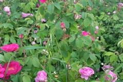 Rose da sciroppo con trattamento Bioagrifert maggio 2017