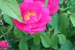 Rose da sciroppo trattate con Bioagrifert
