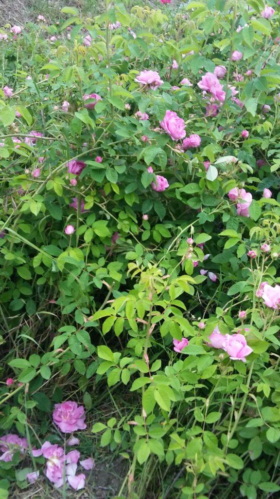 Rose da sciroppo non trattate maggio 2017