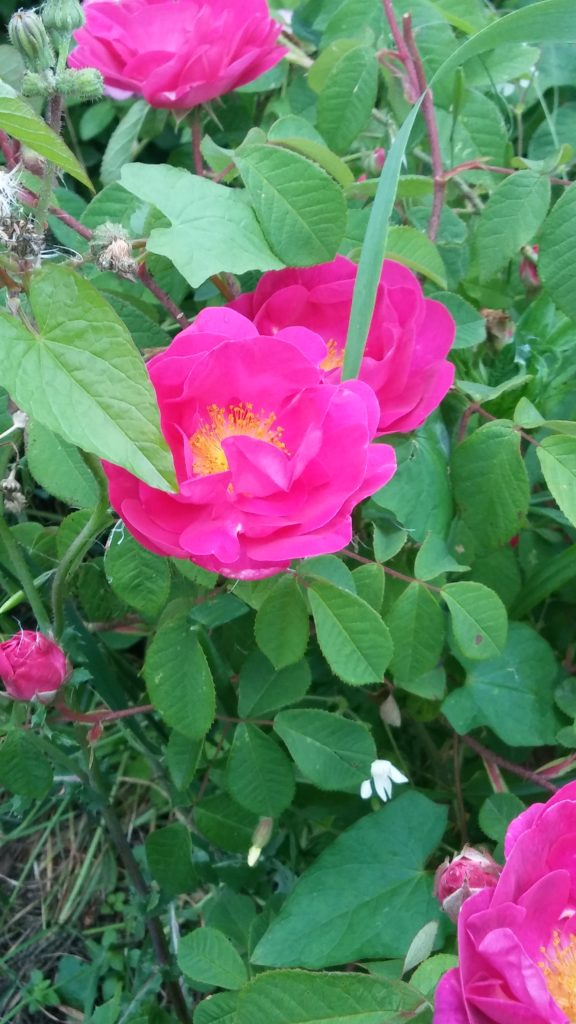 Particolare rose da sciroppo con trattamento Bioagrifert maggio 2017